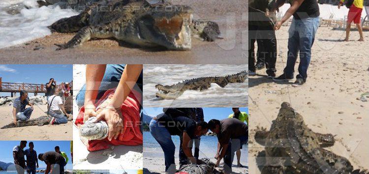 Atraparon a uno de tres cocodrilos en playa del hotel Grand Fiesta Americana
